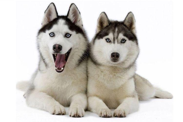 Две собаки породы хаски