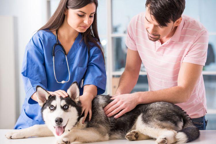 Ветеринар осматривает хаски
