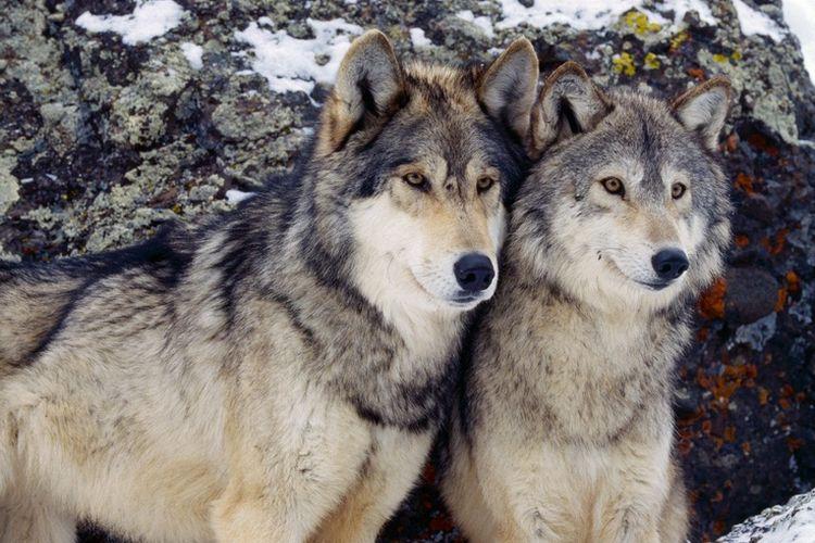 Пара волкособов