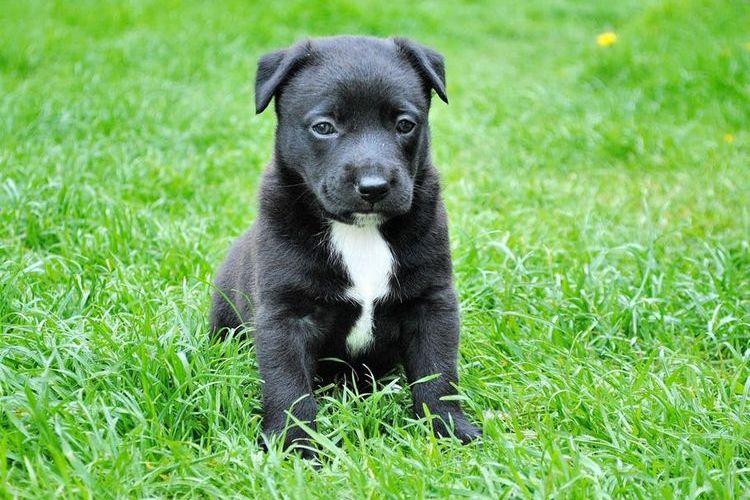 Черный щенок с белой грудью