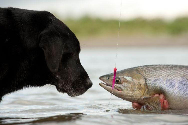 Собака нюхает рыбу