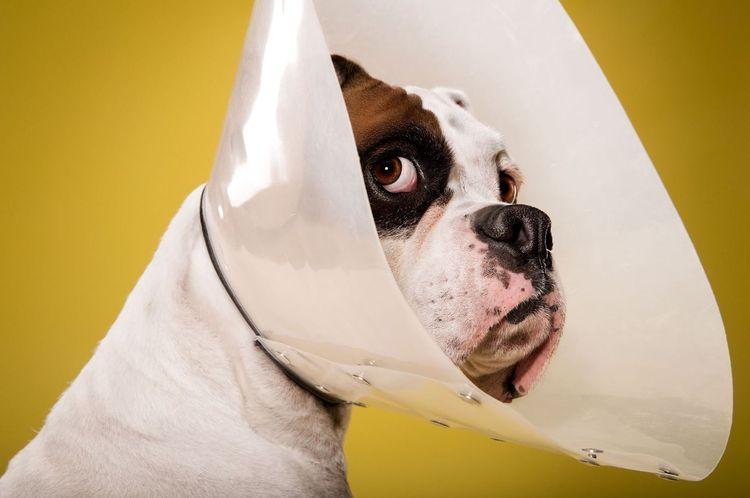 Собака в воротнике