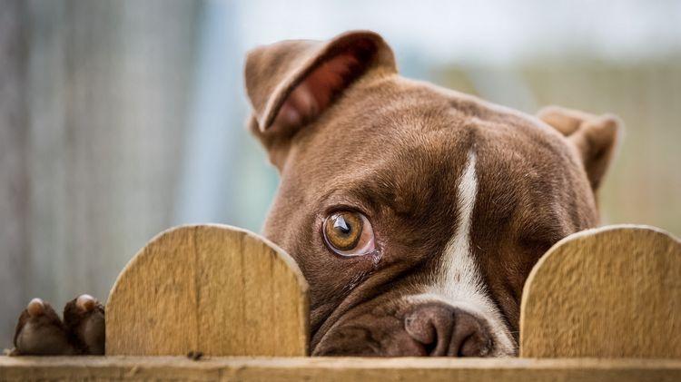 Собака выглядывает из-за забора