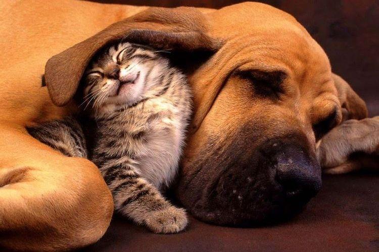 Котенок и бассет