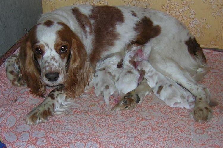 Ретривер со щенками