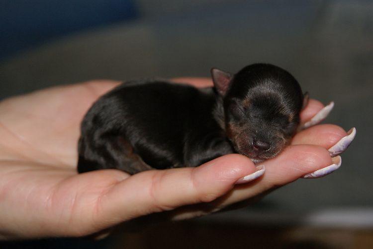 Новорожденный щенок на ладони