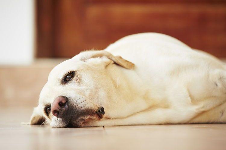 Лабрадор лежит на полу
