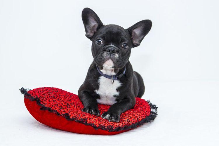 Бульдог сидит на красной подушке