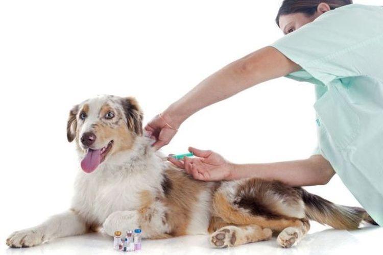 Собаке делают прививку