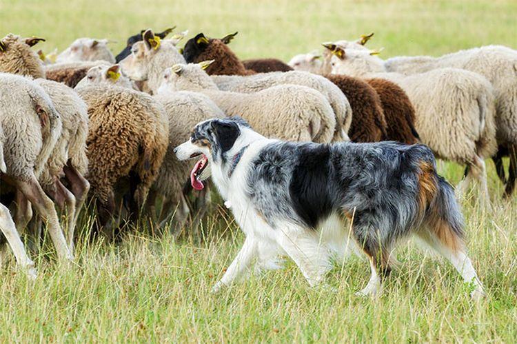 Бордер-колли пасет овец