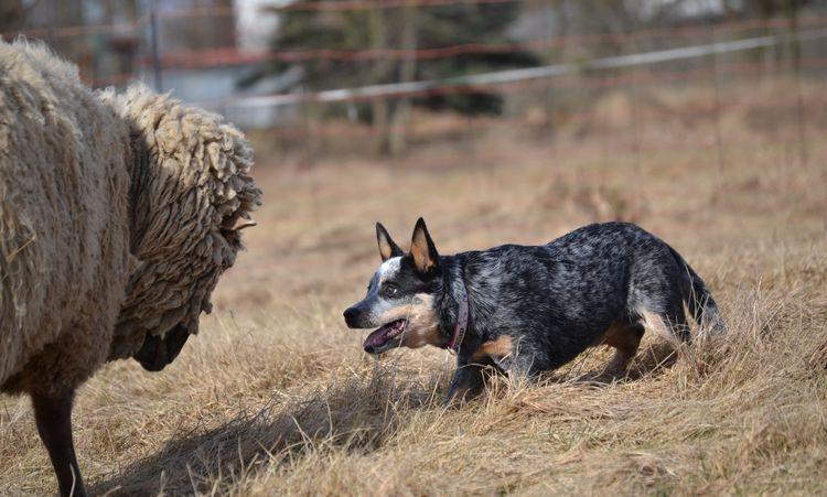 Хилер пасет овец