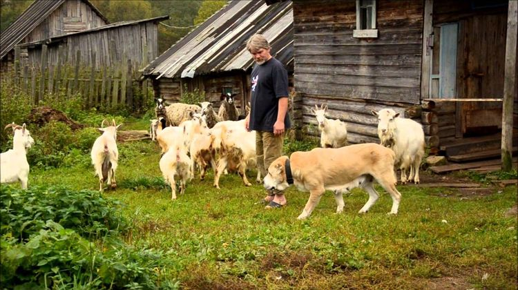 Алабай и овцы