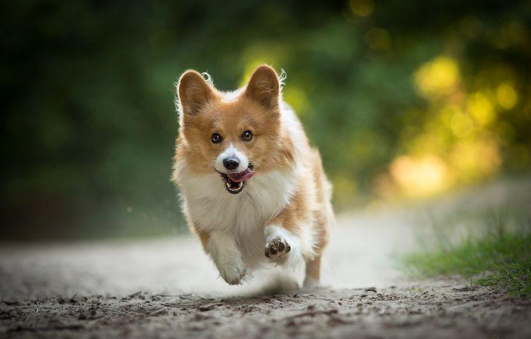 Вельш-корги бежит
