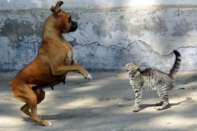 Кошка шипит на собаку