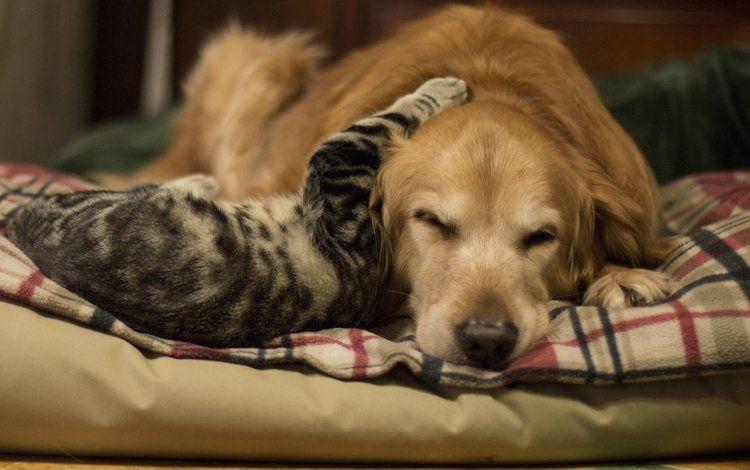 Золотистый ретривер и кот
