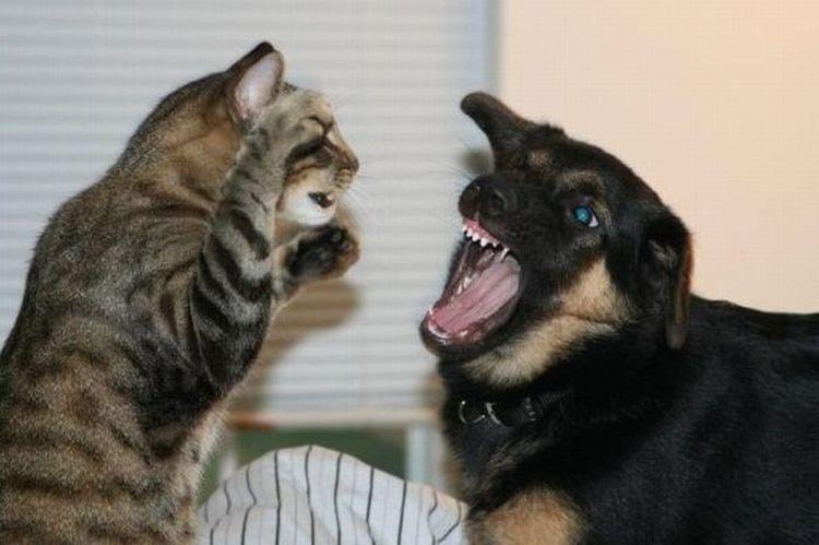 Кот дерется с собакой