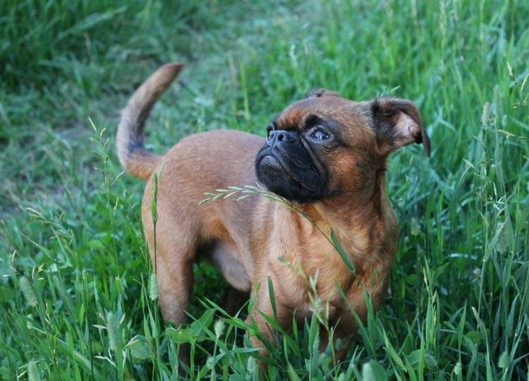 пти-брабансон в траве
