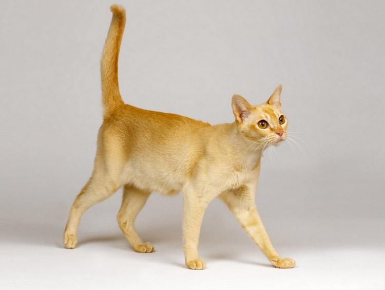 кошка из цейлона