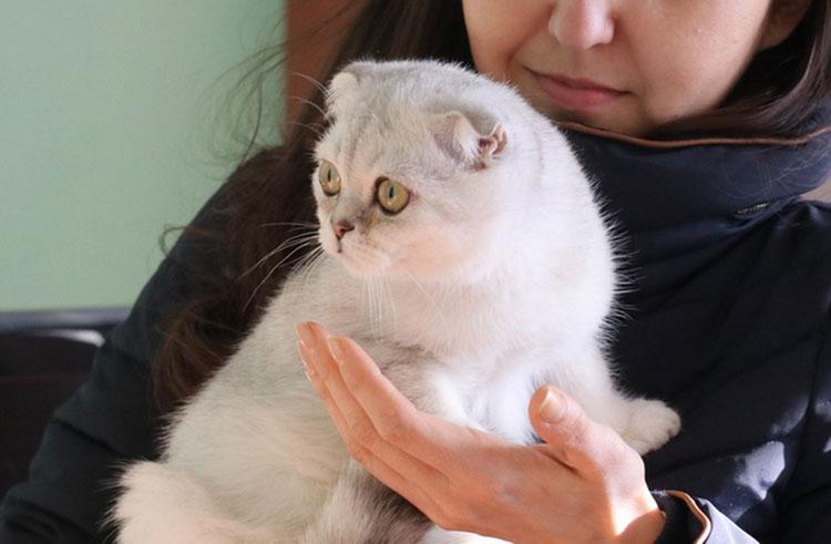кошка породы Флэппиг