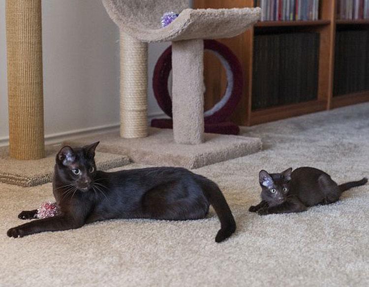 кошка и котенок гавана браун