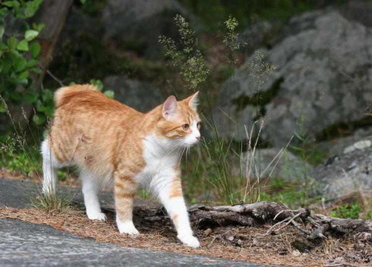 карельская кошка