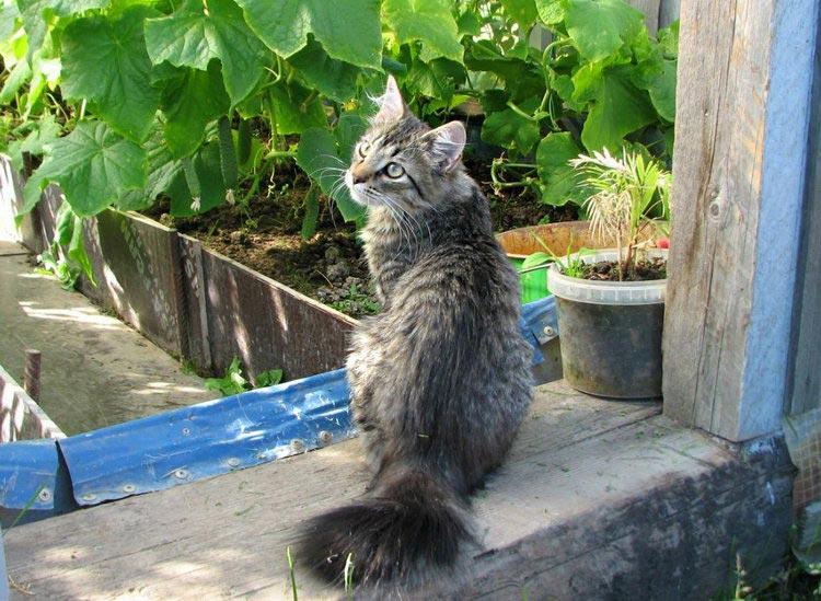 кошки породы Карельский бобтейл