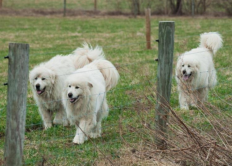 Большая пиренейская собака фото