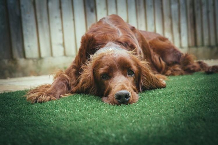 Спаниель лежит на траве