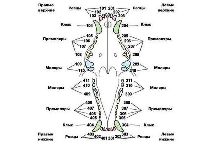 Схема зубов собаки