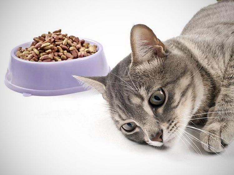 Кот отказывается от корма