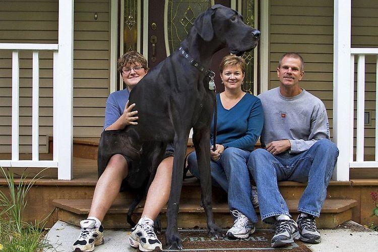 Самая высокая собака Зевс