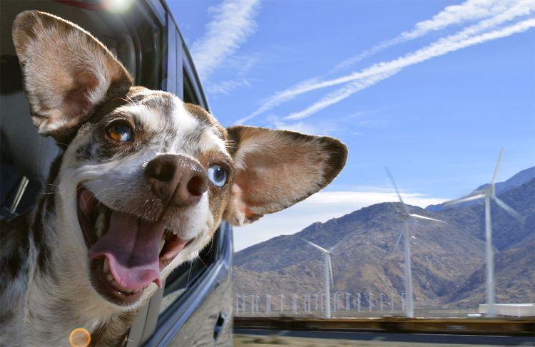 Собака едет в машине