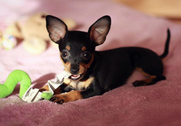 щенок пражский крысарик