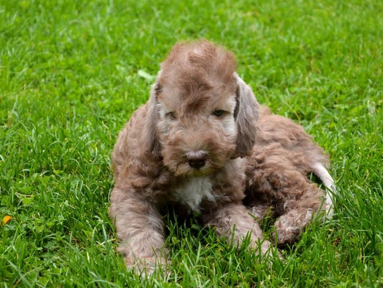 бедлингтон терьер щенок