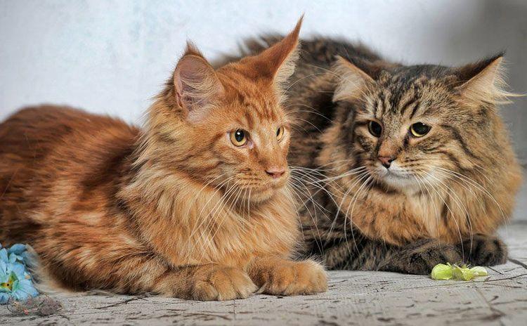 Сибирские коты