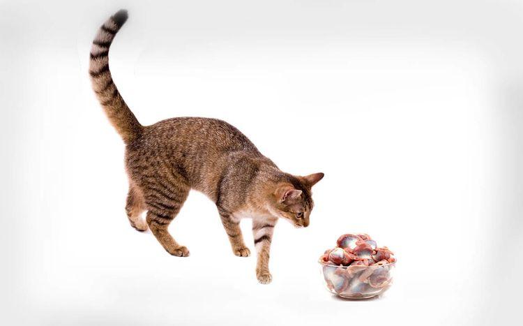 Кот и куриные желудки