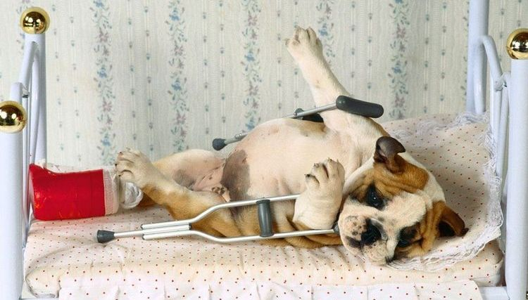 Собака с переломом