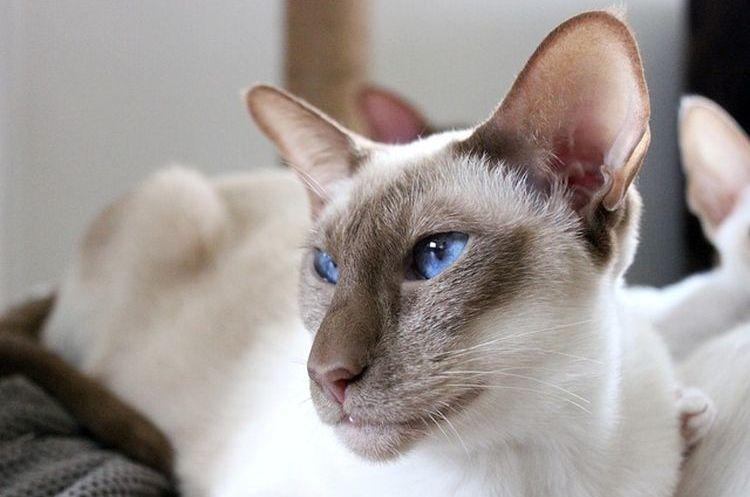 Балинез (Балийская кошка)