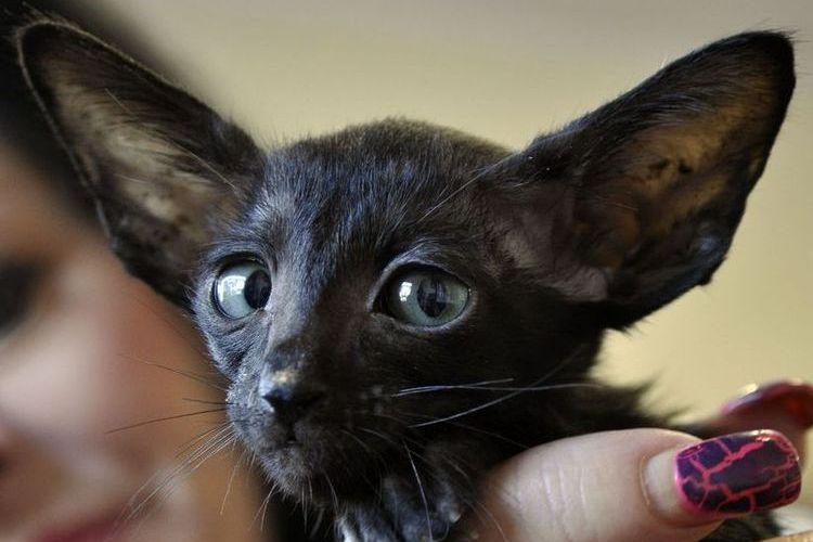 Котенок ориентальской кошки