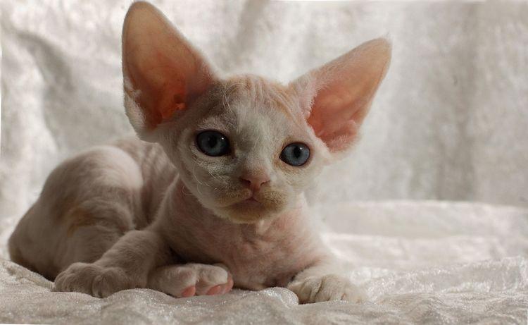 Котенок девон-рекса