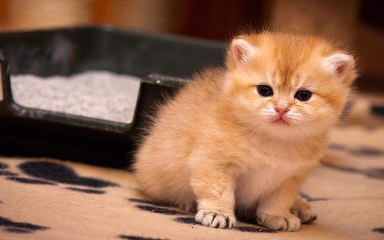 Рыжий котенок у лотка с наполнителем