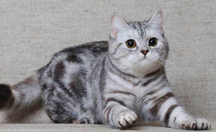 Шотландская вислоухая кошка (Скоттиш-фолд