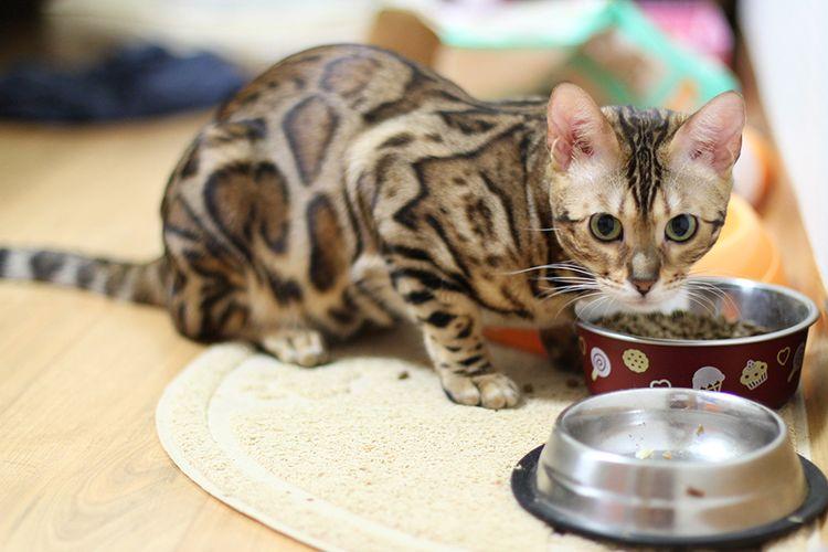 Кошка у тарелки с кормом