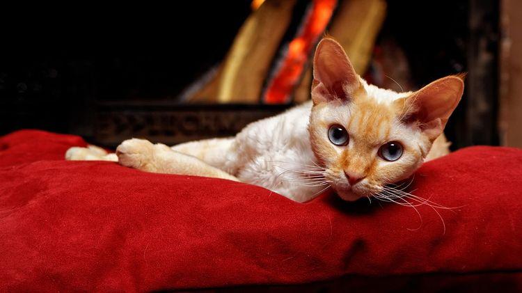Кот на красной подушке