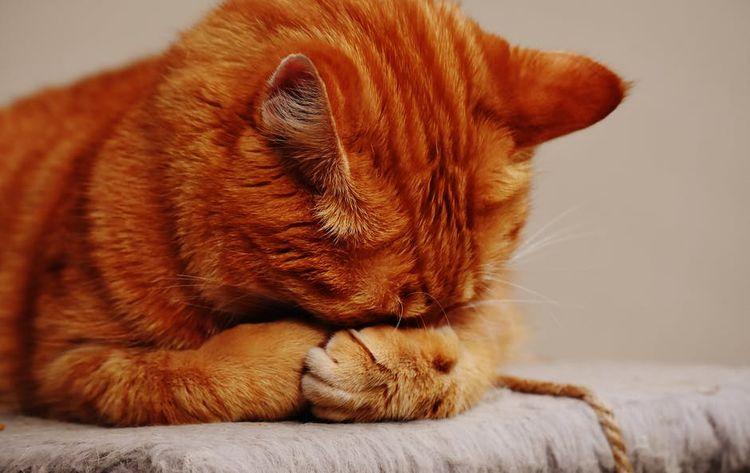 Кот закрыл морду лапами