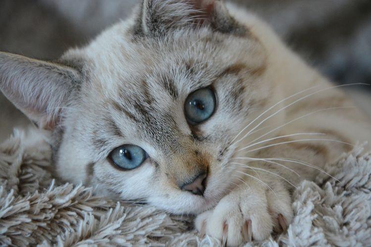 Грустный кот с голубыми глазами