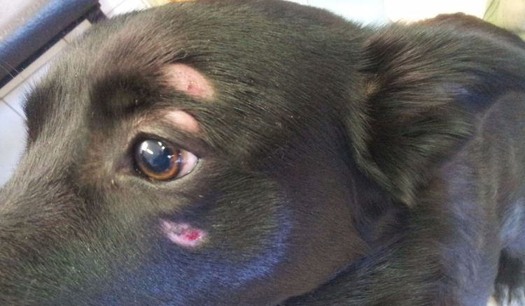 Дерматомикоз у собаки