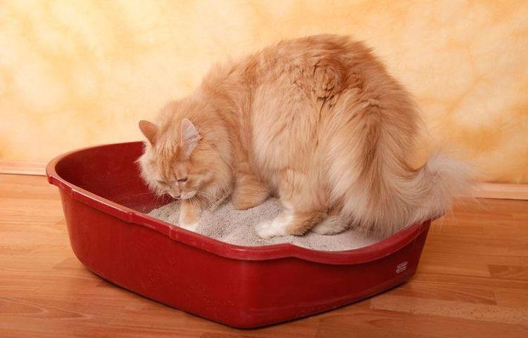 Пушистый кот в лотке с наполнителем