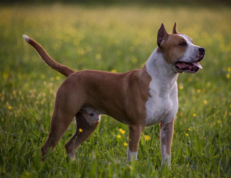 порода собак Амстафф
