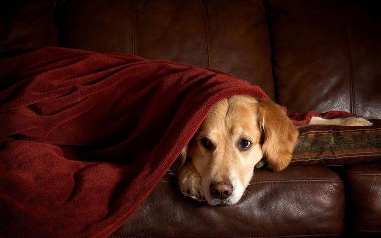 Собака под покрывалом